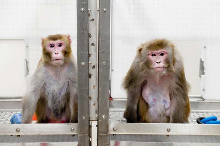 Un rapport suggère que le régime hypocalorique qu'on connait également comme la restriction calorique améliore l'espérance de vie et la santé chez les singes rhésus. Mais il faudra attendre plusieurs années pour aboutir à un consensus sur ce régime.