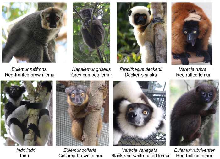 Différentes espèces de lémuriens - Crédit : David Crouse, Rachel Jacobs, Stacey Tecot