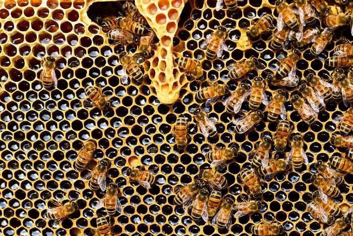 Une étude suggère un déclin des abeilles sauvages de 23 % de 2008 à 2013. Les abeilles sauvages disparaissent dans les principaux Etats américains agricoles. 39 % des terres cultivées de la pollinisation que ce soit des abeilles domestiques ou sauvages.