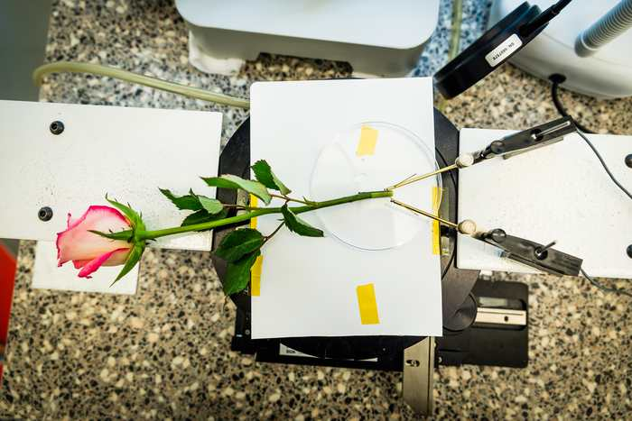 Après avoir créé une plante électronique, un groupe de chercheurs démontre qu'une rose peut stocker de l'énergie équivalente à un supercondensateur.