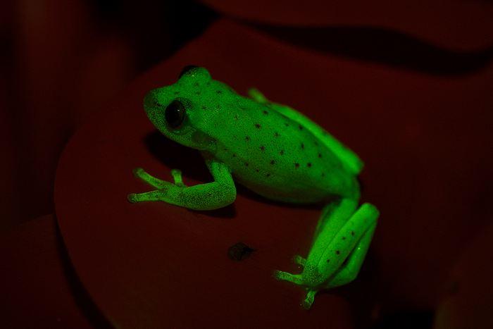 Une espèce de rainette (grenouille), connue comme l'Hypsiboas punctatus (polka-dot tree frog en anglais), est naturellement fluorescente. C'est la première grenouille qu'on découvre qui possède naturellement cette capacité, car on sait que la fluorescence est présente chez certaines tortues de mer ou de perroquets.