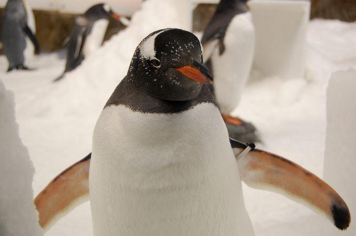L'une des plus grandes colonies de manchots papous en Antarctique a été décimée par plusieurs éruptions volcaniques au cours des 7 000 dernières années selon une nouvelle étude.