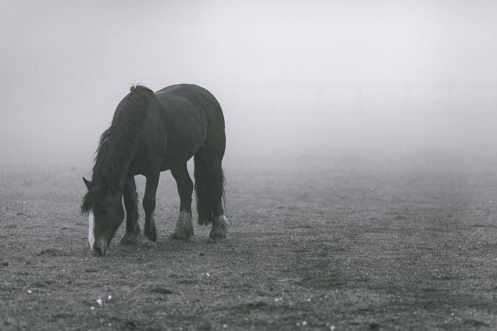 Une étude suggère que la domestication a eu un effet significatif sur l'évolution des chevaux et on peut voir cet effet même au niveau des génomes.