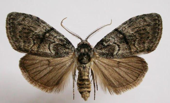 Le papillon Uraba lugens peut évoluer pour avoir des antennes plus grandes afin d'être plus réceptifs aux signaux sexuelles des femmes dans le cadre de la théorie de la sélection sexuelle de Darwin - Peter Marriott