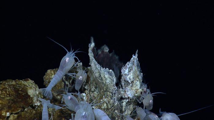 Des Alvinocarididae sont des crevettes abyssales qu'on trouve à coté des cheminées hydrothermales. Mais le sol à coté de ces zones possèdent également des gisements très riches de sulfures polymétalliques - Crédit : NOAA Office of Ocean Exploration and Research