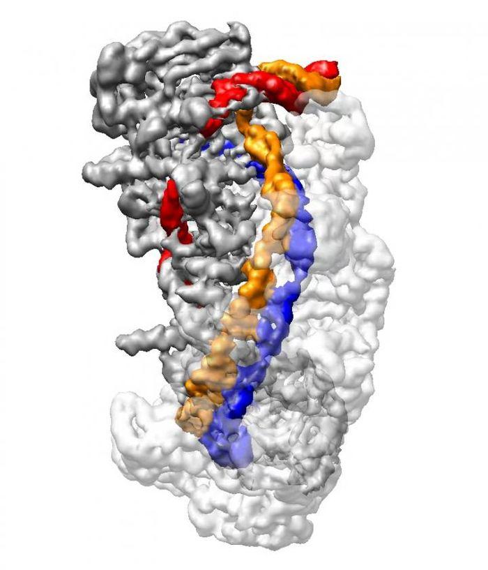 """Une image au microscope cryo-électronique de CRISPR dans une conformation complète de R-Loop. L'ADN (Orange et rouge) est """"dénoué"""" et comparé au CRISPR RNA (bleu) pour déterminer si l'ADN cible doit être coupé par l'enzyme Cas3 - Crédit : Liao lab/Harvard Medical School"""
