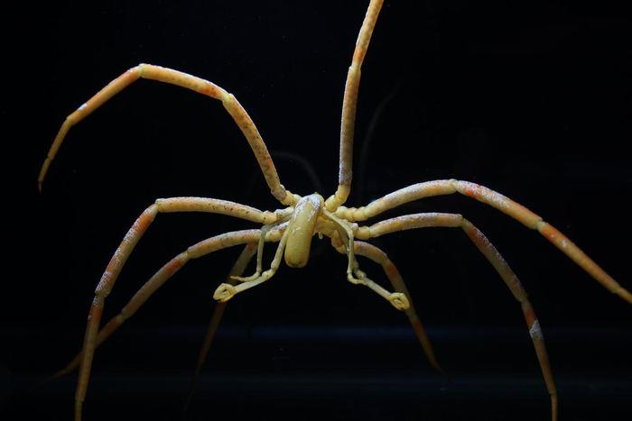 Les chercheurs rapportent que les araignées de mer utilisent leurs intestins afin de transporter l'oxygène dans leur corps plutôt que leur coeur.