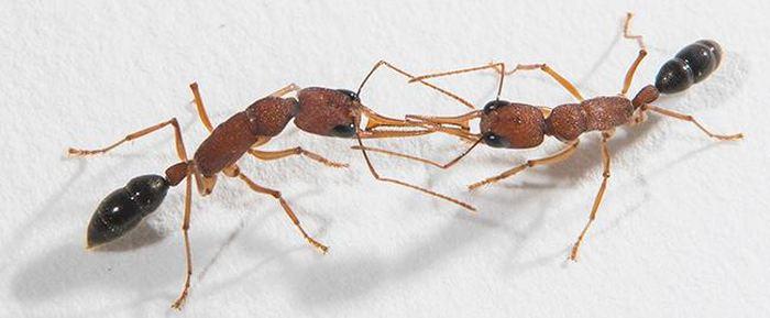 Les chercheurs ont développé de nouvelles méthodes pour décoder les odeurs des fourmis. De plus, cela offre des pistes pour les éloigner de votre cuisine.
