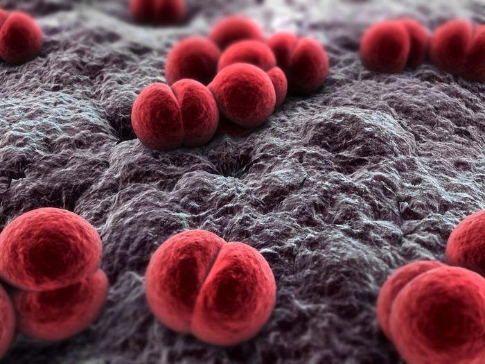 Neisseria meningitidis, la bactérie du méningocoque au microscope électronique - Crédit : microbewiki.kenyon.edu