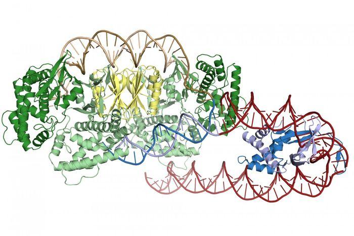 Une protéine appelée IHF (en bleu) crée un virage serré en amont de l'ADN de la répétition CRISPR permettant à Cas1-Cas2 (en vert et en jaune de reconnaitre et de se connecter au site d'insertion)- Crédit : Addison Wright, UC Berkeley