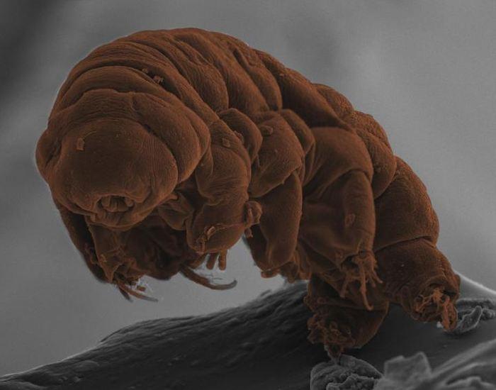 L'analyse du génome des tardigrades montre leur parenté avec les nématodes et on a des débuts d'explication sur leur résistance contre la sécheresse.