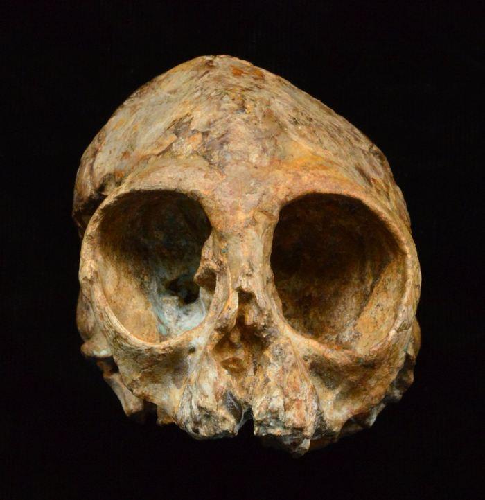 Vue de face de Nyanzapithecus alesi - Crédit : Fred Spoor.