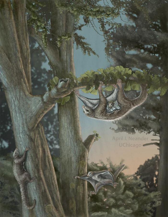 Les chercheurs rapportent la découverte de Maiopatagium furculiferum et Vilevolodon diplomylos qui sont les premiers mammifères ailés du Jurassique. Ce sont également les premiers planeurs parmi les mammifères