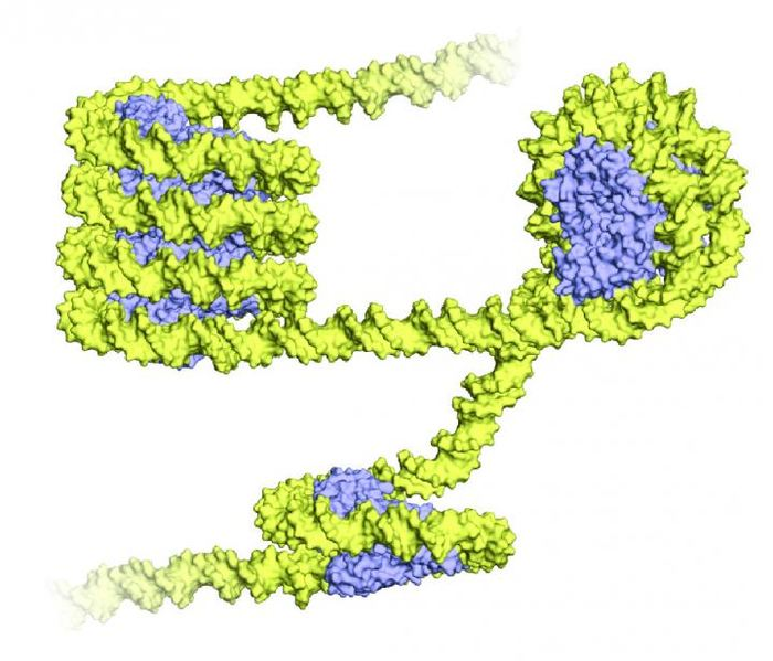 Les archées enroulent leur ADN (en jaune) autour de protéines appelées histones (en bleu) La structure enroulée offre une ressemblance frappante avec le nucléosome des eukaryotes avec 8 protéines histones avec de l'ADN enroulé tout autour. Mais contrairement aux eukaryotes, les archées plient leur ADN avec une seule protéine histone en formant une longue structure comme une super-hélice - Crédit : Francesca Mattiroli