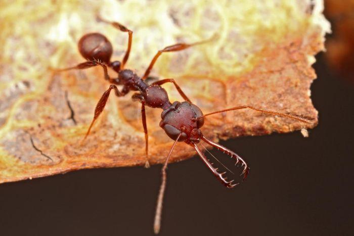 Une image de la fourmi Myromoteras - Crédit : Steve Shattuck.