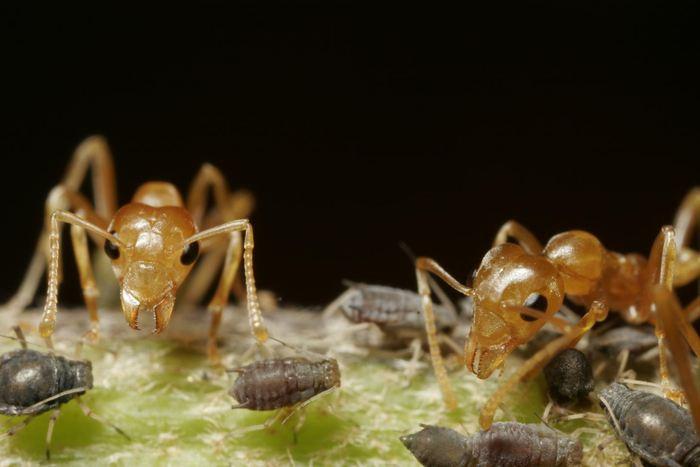 Les fourmis tisserandes utilisent leurs déchets pour fertiliser les plantes et les arbres - Crédit : Kim Aaen, NatureEyes.