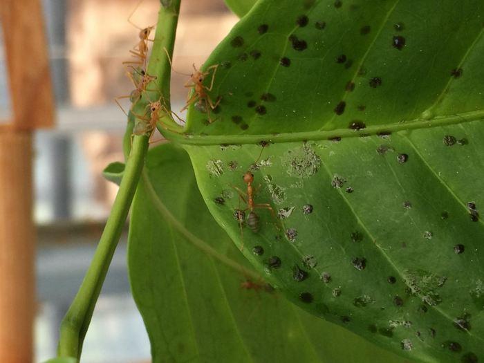 Les feuilles de cet caféier est rempli des matières fécales des fourmis. Ces déchets contiennent de l'urée et des acides aminés exploités par les plantes pour se développer - Crédit :  Joachim Offenberg