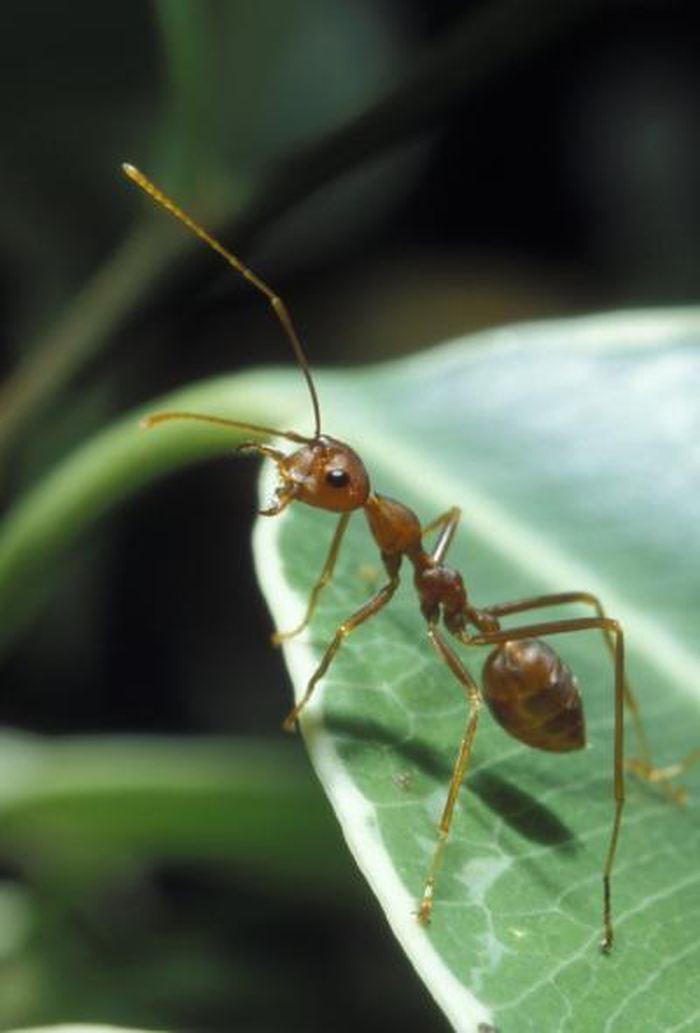 La fourmi tisserande est très agressive et elle va attaquer n'importe quel insecte qui a le malheur de débarquer sur sa plante hôte - Crédit : Kim Aaen, NatureEyes.