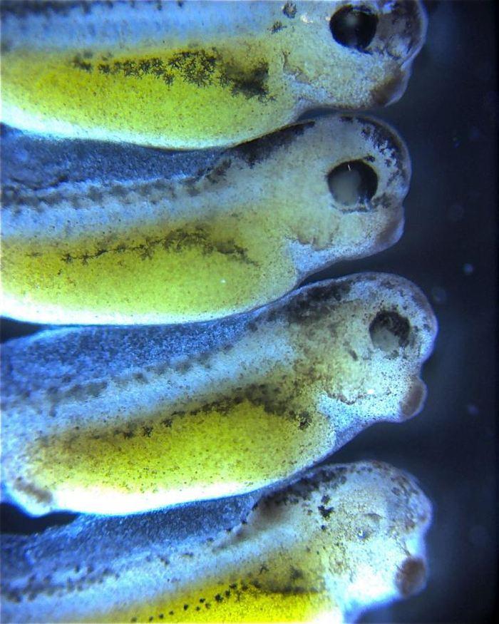 Des têtards de 2 jours étudiés avec un inhibiteur fluorescent d'expression de gène (la couleur blanche sous l'oeil des deux têtards du bas) - Crédit : UC San Diego