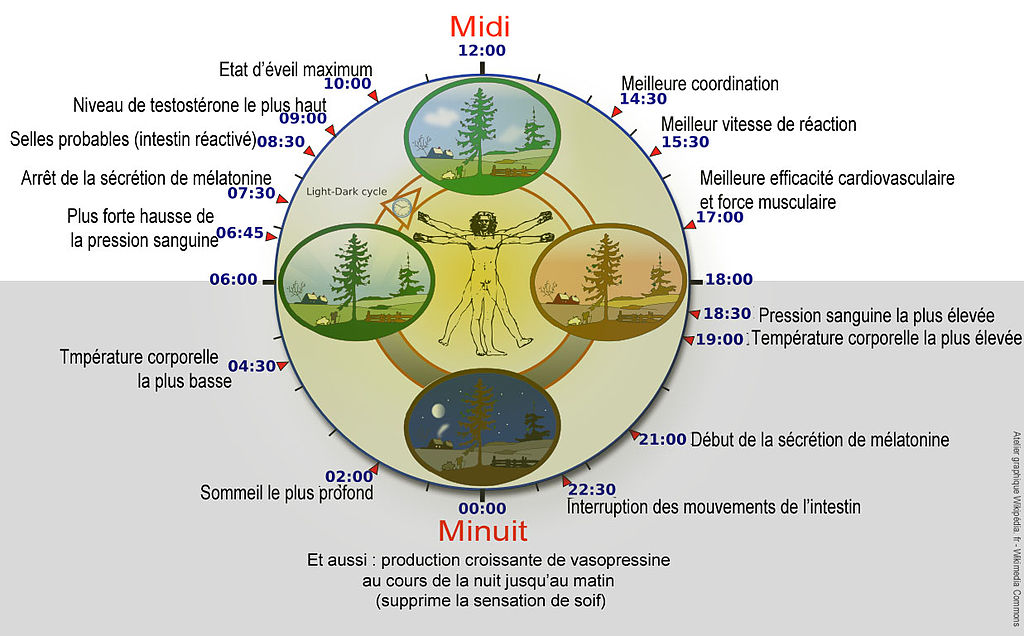 Quelques rythmes circadiens - Wikimedia Commons