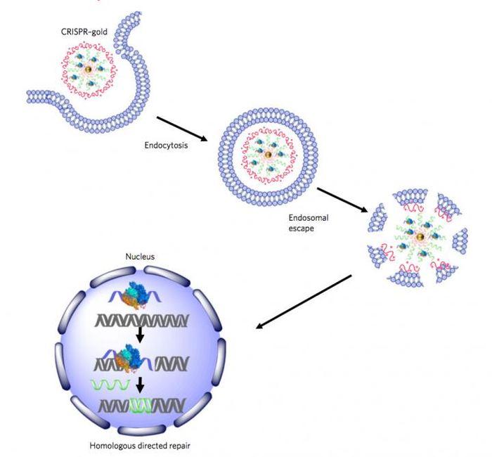 La méthode d'action de CRISPR-Gold - Crédit : Murthy/Conboy/Nature Biomedical Engineering