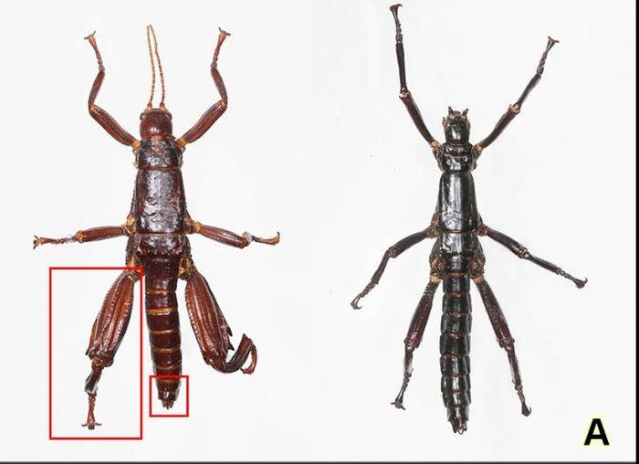 Les deux phasmes semblent différents, mais l'analyse génétique montre qu'il s'agit de la même espèce - Crédit : You Ning Su, CSIRO