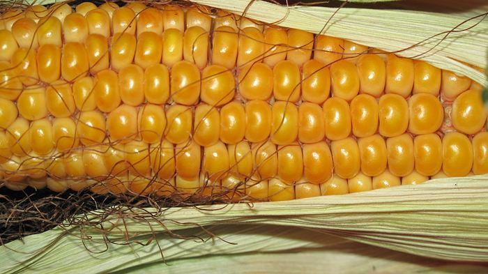 Les scientifiques ont trouvé un moyen efficace d'améliorer la valeur nutritive du maïs en insérant un gène bactérien qui l'amène à produire un nutriment essentiel appelé méthionine.