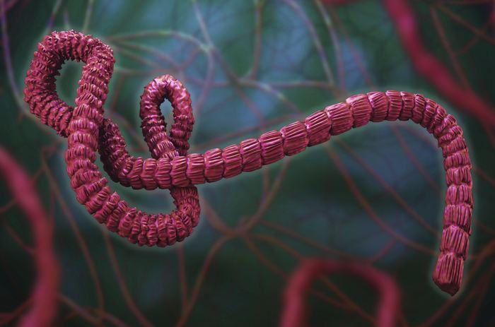 Les chercheurs rapportent les résultats d'essais cliniques concernant 2 vaccins contre Ebola qui permet d'avoir une immunité de 12 mois après la première vaccination. Ce sont des résultats prometteurs, mais il faudra encore de nombreux essais pour déterminer si ces vaccins sont efficaces contre Ebola.