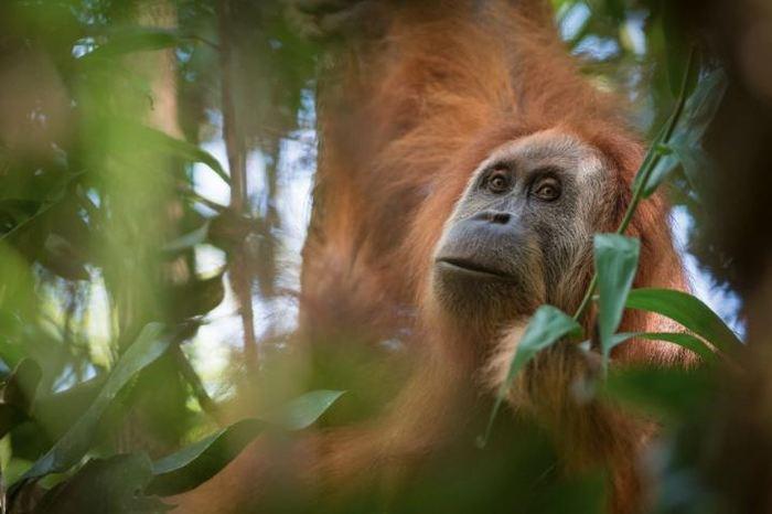 Un orang-outan de l'espèce Pongo tapanuliensis - Crédit : Andrew Walmsley