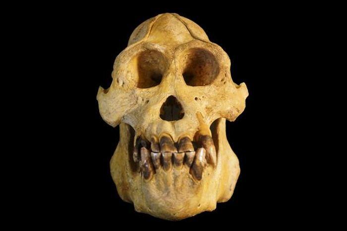 Un crâne d'orang-outan de l'espèce Pongo tapanuliensis - Crédit : Nater et al.