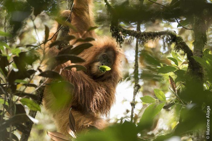 Un orang-outan de l'espèce Pongo tapanuliensis - Crédit : Maxime Aliaga