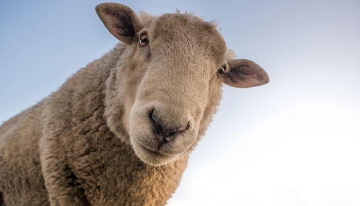 Une expérience montre que les moutons peuvent reconnaitre des visages humains dans des images avec un peu d'entraineurs. Ils peuvent même reconnaitre le visage de leur berger sans aucun entrainement. Les moutons peuvent être des modèles d'animaux intéressants pour des troubles tels que la maladie de Huntington.