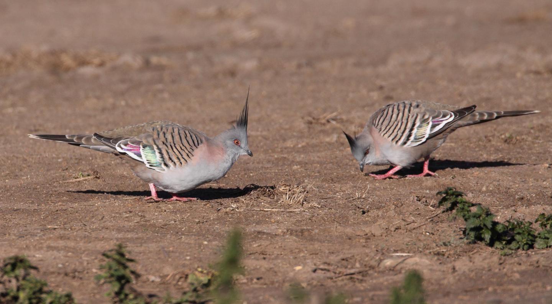 Les chercheurs rapportent que les pigeons à crête, connus comme les Colombine longup, peuvent produire des signaux d'alarme avec leurs ailes pendant qu'ils sont en vol. Et comme ils battent plus vite leurs ailes pour échapper aux prédateurs, les membres du groupe peuvent comprendre rapidement le danger.