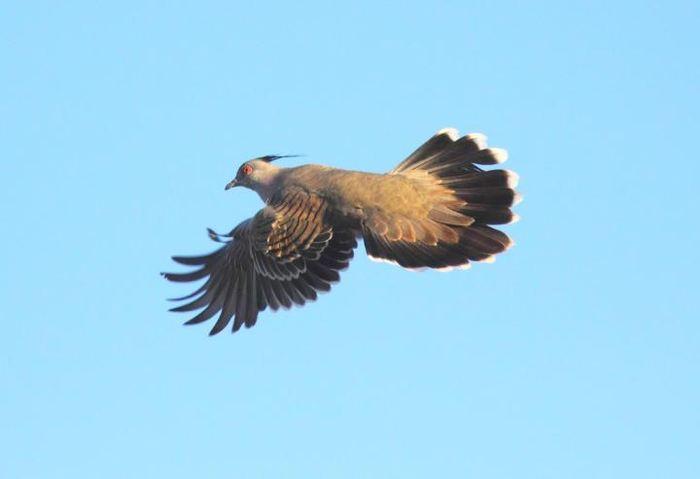 Un pigeon à crête en vol, on voit la 8e plume plus étroite sur l'aile primaire - Crédit : Geoffrey Dabb