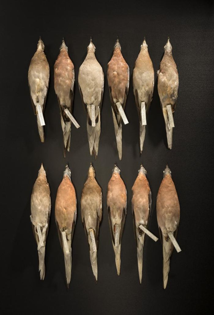 La population du pigeon migrateur était estimé à environ 3 milliards à 5 milliards au 19e siècle, mais l'espèce a été exterminé en quelques décennies par les agriculteurs américains - Crédit : Rene O'Connell