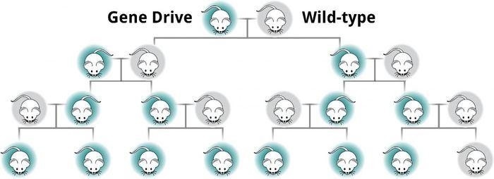 La technologie Gene Drive contourne la règle qu'il y a 50 % de probabilité qu'une copie d'un gène passe à la prochaine génération. Ainsi, le Gene Drive permet de garantir qu'un gène va être copié à 100 % du parent à sa portée. Quand on utilise le Gene Drive pour modifier les traits qui concernent la reproduction et la survie, alors on peut utiliser le Gene Drive pour contrôler ou exterminer toute la population à l'échelle locale - Kevin Esvelt