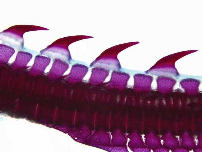 Une lignée de denticules située le long du tronc et de la queue de la raie. Les denticules sont des organes ressemblant à des dents agencés dans une ligne au dessus de la colonne vertébrale - Crédit : Andrew Gillis, Gillis Lab