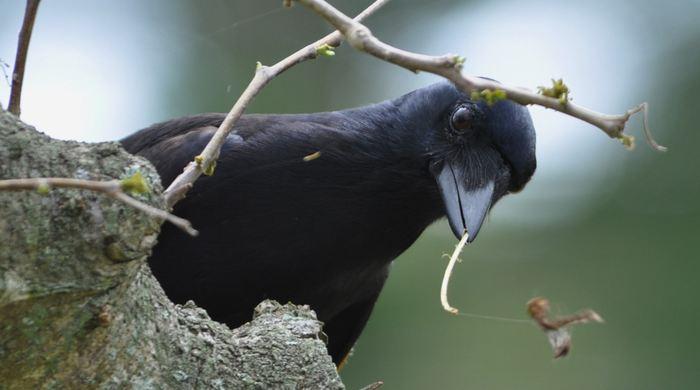 Une recherche révèle la manière dont les corbeaux néo-calédoniens fabriquent leurs crochets. Ce sont les seuls animaux qui peuvent fabriquer ce type d'outil aussi sophistiqué et on peut dire qu'ils le font de la même manière qu'un artisan humain.