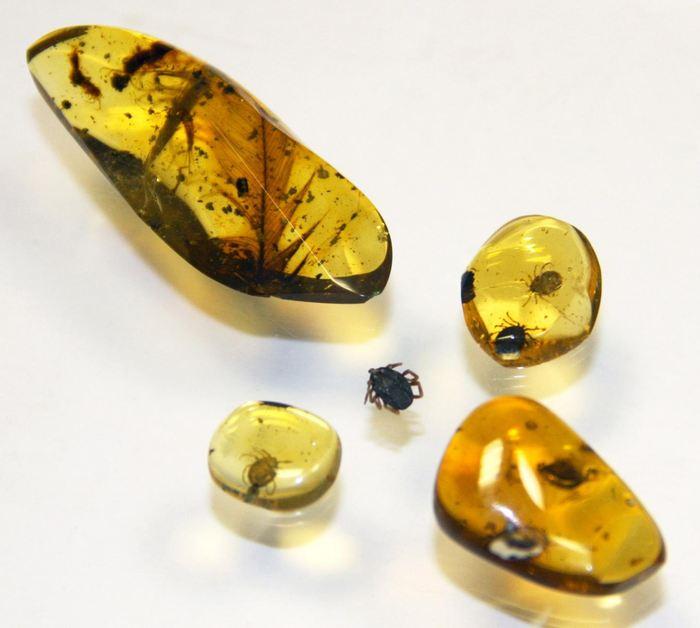 Comparaison de la taille des tiques (environ 5 millimètres) et des morceaux d'ambre - Crédit: E. Peñalver