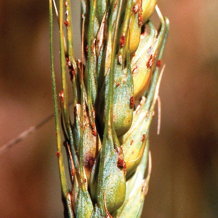 Du blé affecté par le rouille noire  - Crédit : 2013 DAFWA