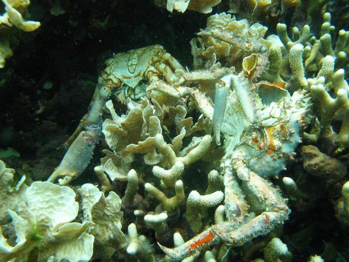 La réduction de l'oxygène provoque la mort de ces coraux dans Bocas del Toro au Panama. Les crabes dans l'image sont également morts à cause de la perte de l'oxygène - Arcadio Castillo/Smithsonian