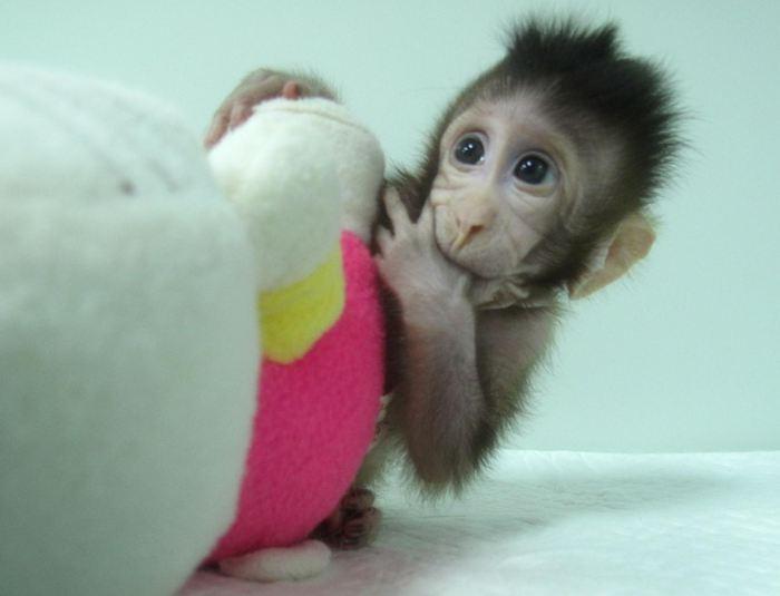 Zhong Zhon, l'un des singes clonés - Crédit : Qiang Sun and Mu-ming Poo / Chinese Academy of Sciences