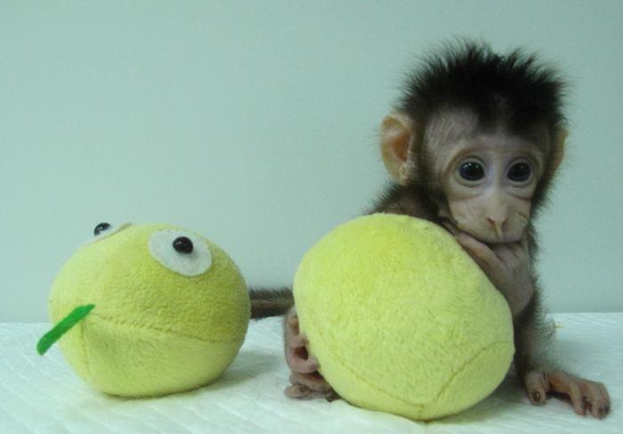 Hua Hua, l'un des singes clonés - Crédit : Qiang Sun and Mu-ming Poo / Chinese Academy of Sciences