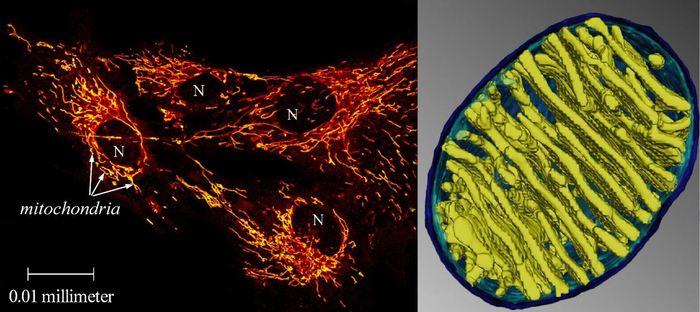 A gauche : Une mitochondrie de cellules humains illuminée par une sonde sensible à la température. 4 cellules humaines, chacune avec son noyau et ses nombreux mitochondries filamenteuses (jaune-rouge). A droite : La mitochondrie comme un radiateur. Un zoom sur l'un des filaments révèle des membranes parallèles juxtaposées qui pourrait chauffer l'intérieur de la mitochondrie. Crédit : image de gauche : Malgorzata Rak, image de droite : Terrence G. Frey