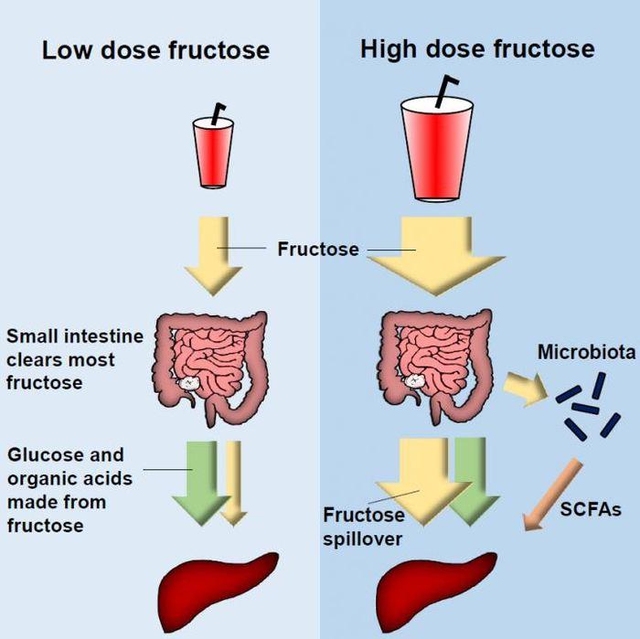 Ce graphique montre que l'intestin grêle se charge de traiter la majorité du fructose. Du fructose à haute dose vont se déverser dans le foie et interagir avec le microbiote pour le métabolisme - Crédit : Jang et al./Cell Metabolism 2018