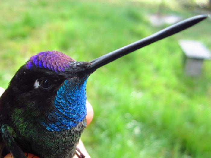 Selon une nouvelle étude, les différences de puissance musculaire et de taille des ailes, associées à une touche d'habileté, déterminent l'agilité en vol des colibris.