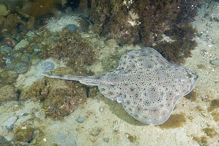 En étudiant une espèce de poisson connue comme la petite raie (Leucoraja erinacea), les chercheurs rapportent des comportements de marche au fond des océans ainsi que des circuits neuronaux et génétiques qui suggèrent un développement précoce de la locomotion.