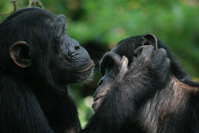 Pendant leur toilettage, les chimpanzés et les bonobo utilisent des gestes ayant la même signification - Crédit : Catherine Hobaiter
