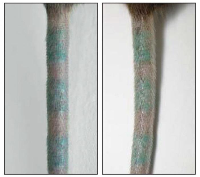 Etant donné que le pigment du tatouage peut être recapturé par de nouveaux macrophages, un tatouage sera permanent avant (gauche) et après (droite) la mort des macrophages du derme - Crédit : Baranska et al., 2018