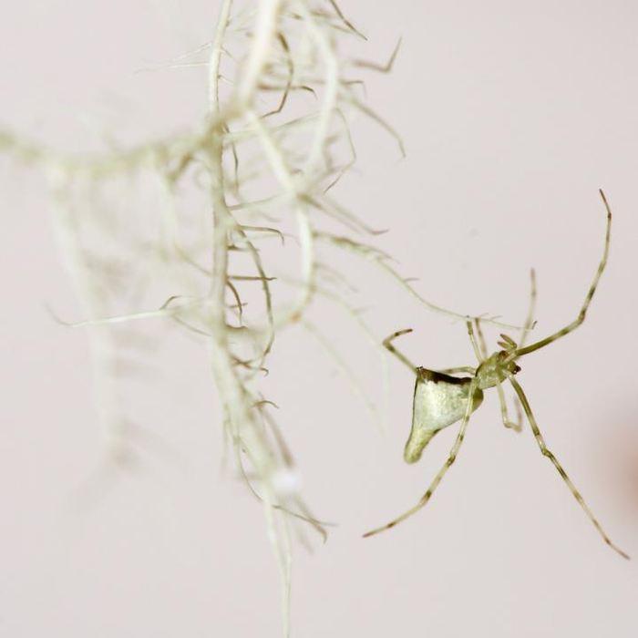 Une araignée blanche de Maui - Crédit : George Roderick